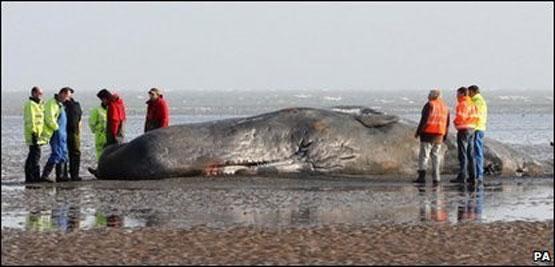 عکس: جسد نهنگ ۱۴ متری در ساحل | www.Alamto.Com