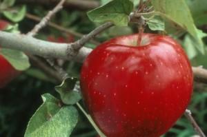 سیب را حتما با  پوست بخورید!