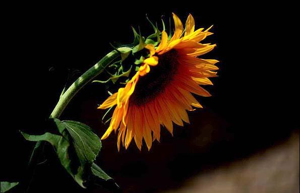 عکس های زیبا از مزرعه آفتاب گردان