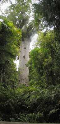 عکس درخت Kauri