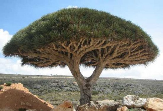 عکس درخت Dragon Blood Tree