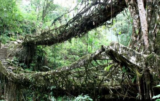 عکس درخت Root Bridges