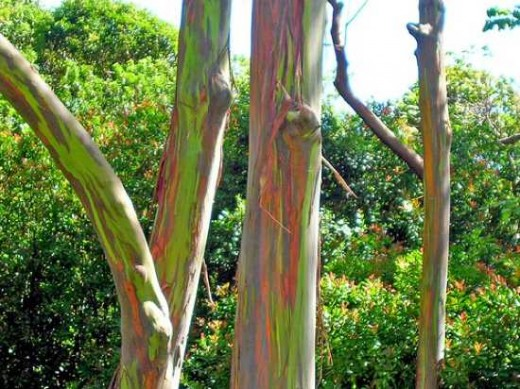 عکس درخت Rainbow Eucalyptus