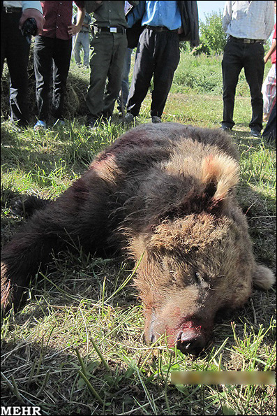 کشته شدن خرس قهوه ای در سراب توسط شکارچیان + عکس