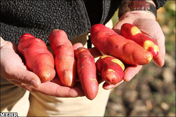 سیب زمینی جدید با پوست قرمز و گوشت زرد طلایی + عکس