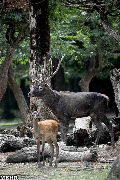 پارک جنگلی قرق در گرگان / پارک گوزنا