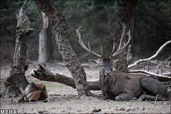 پارک جنگلی قرق در گرگان / پارک گوزن ها