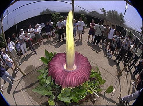 تصاویری از بزرگترین و عجیب ترین گل دنیا