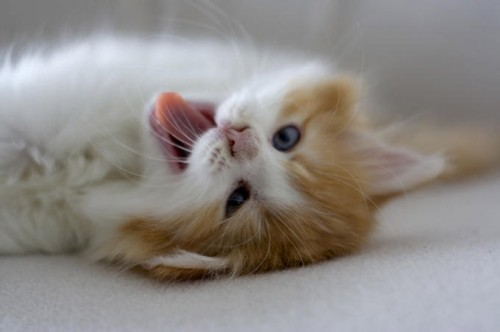 تصاویر و عکس های گربه های ملوس و بسیار زیبا (پیشی)