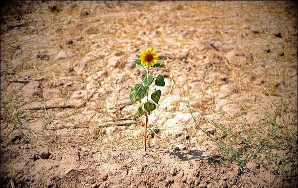 عکسای قشنگتر از مزرعه آفتاب گردان