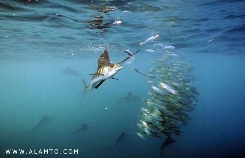 سریعترین ماهی جهان را بشناسید + عکس