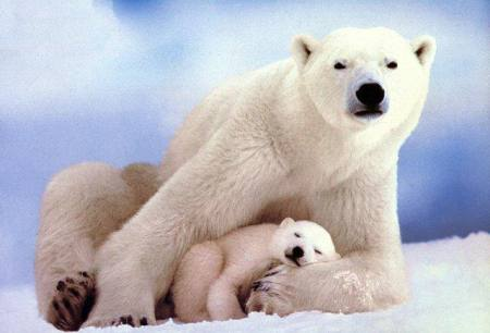 10 حیوان کمیاب که در قطب شمال زندگی میکنند/تصاویر