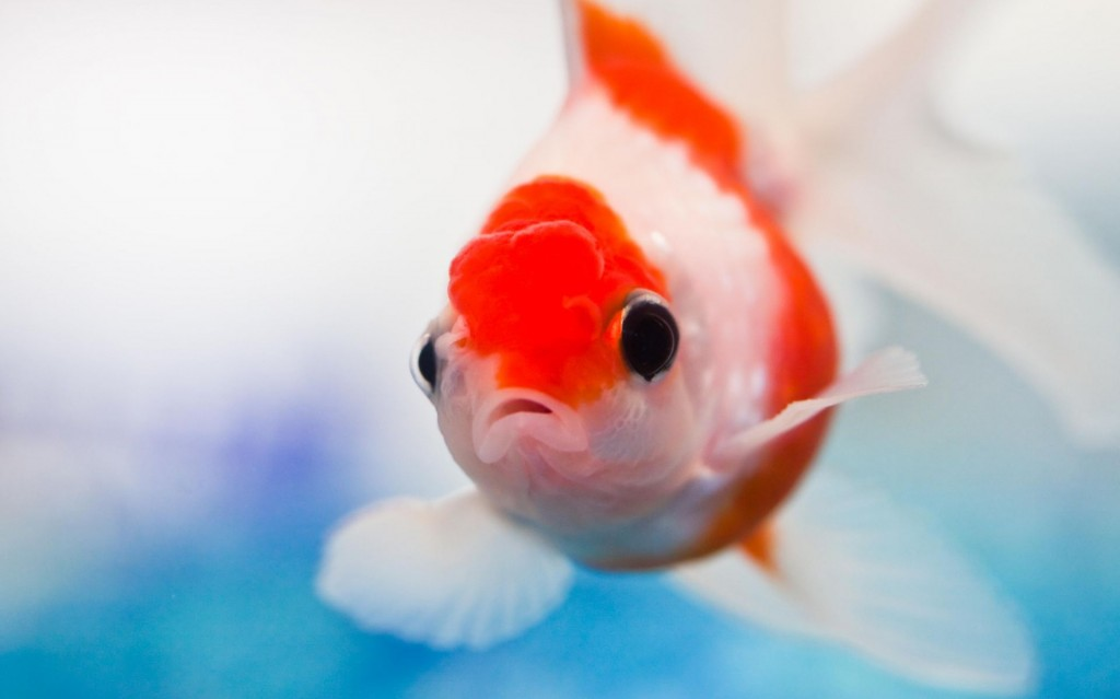عکس ماهی زینتی