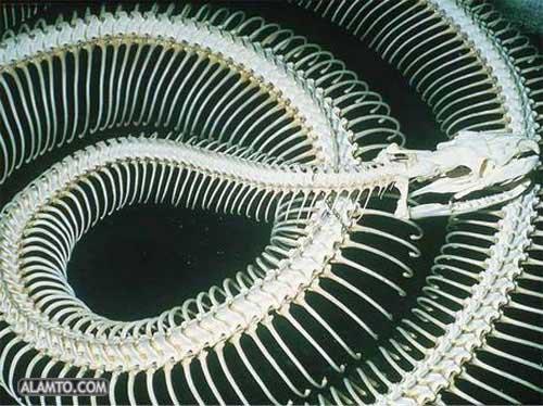 تصاویری دیدنی از اسکلت مار