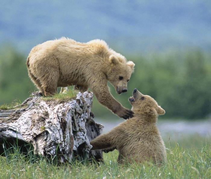 عکس خرس های قهوه ای