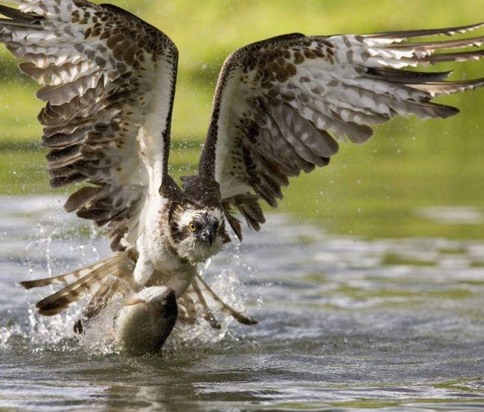 عکس شاهین - عکس عقاب