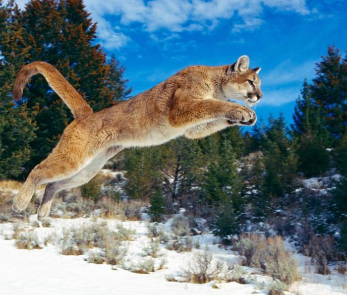 عکس گربه کوهی